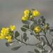 沙冬青種子供應--沙生植物、耐旱、防風固沙植物種子
