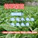 優質高產牧草-進口牧草品種-將軍菊苣-適合飼喂各種家禽家畜