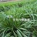 冬季好牧草-冬牧70黑麦草-耐严寒、耐干旱、耐盐碱