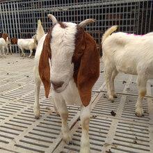 波尔山羊,小尾寒羊,白山羊,奶山羊羊苗最新价格
