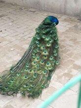 蓝孔雀价格多少钱一只孔雀养殖场各年龄段观赏孔雀图片