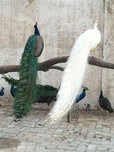 孔雀价格一只多少钱孔雀养殖基地活体孔雀蓝孔雀价格图片