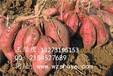 淮北济薯21红薯基地石家庄济薯21红薯供应