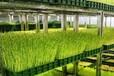 湖北時珍益民農業開發有限公司芽苗菜小常識