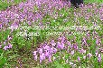 山西陕西白芨种植湖北时珍益民农业白芨种植成为大家争先种植的项目!