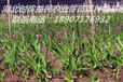 貴州白芨種苗價格