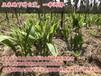 湖北白芨种植湖北时珍益民农业白芨带动当地农民增收致富
