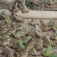 请围绕饲料和病害等方面谈谈青蛙的养殖技术?湖北时珍益,农业青蛙养殖基地图片