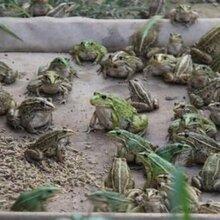 青蛙有哪些养殖模式?湖北时珍益民农业青蛙养殖基地图片