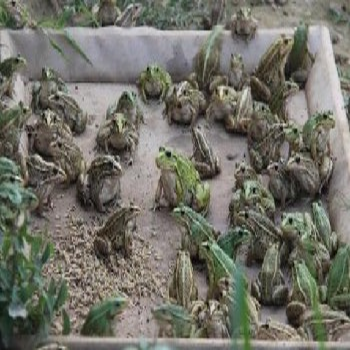 青蛙有哪些养殖模式?湖北时珍益民农业青蛙养殖基地