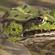 湖北青蛙养殖技术