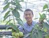 四季高产常绿新品种水果丰实四季梨