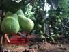丰实农业专业批发优质四季梨苗当年结果