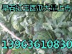 早春紅玉西瓜種植
