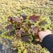 礬根小苗種植批發基地冬季耐寒草花批發多年生綠化苗木草花