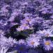 高山紫菀批發三色堇角堇供應商多年生草花金雞菊