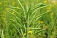 油菜籽榨油專用飼料專用五谷雜糧