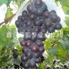 河北葡萄價格圖片