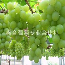 供應河北葡萄價格圖片