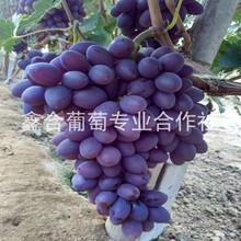 玫瑰香葡萄TNG河北葡萄價格圖片