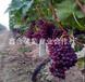 红宝石葡萄TGN河北葡萄种植基地
