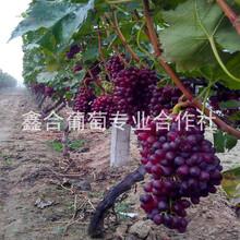 紅寶石葡萄TGN河北葡萄種植基地圖片