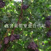 巨峰葡萄TNG河北葡萄價格圖片