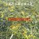寧夏黃花草木犀價格黃花草木犀批發草木樨濃縮粉