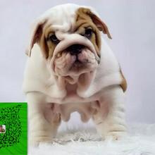 大鼻筋英国斗牛犬出售憨厚可爱疫苗打好图片