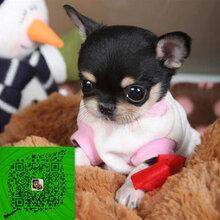 苹果吉娃娃幼犬墨西哥吉娃娃做完疫苗包健康图片