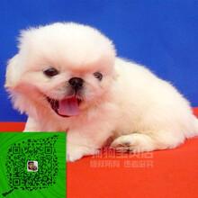 出售纯种京巴犬自家养殖的当面测试交易同城免费送狗图片