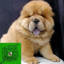 出售純種松獅犬自家養殖的當面測試交易同城免費送狗圖片