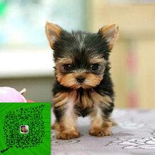 出售纯种约克夏犬自家养殖的当面测试交易同城免费送狗图片