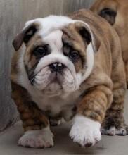 出售纯种大鼻筋小方体英国斗牛犬双血统大头幼犬图片