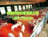 高品質畜牧業機械養豬設備仔豬保育床價格范圍雙體復合漏糞板小豬保育床作用
