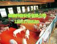 热镀锌小猪保育床泊头自销仔猪保育床厂家养猪场专业设备高品质图片