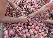 洋葱基地直销红皮洋葱大中小各种规格洋葱河南省周口市西华县运平种植批发基地