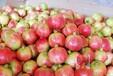四川攀西地区优质水果批发商