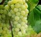 有机精品醉金香葡萄高品质新鲜绿提纯天然营养丰富