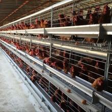 中档蛋鸡笼、育雏笼、河南银星鸡笼厂、养鸡设备、图片