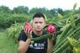 椰島味大量批發海南金都一號火龍果可一件代發
