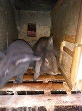 浙江獺兔肉,農家樂兔肉,長期供應圖片