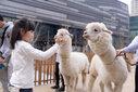 上海金山区草泥马出租-租赁小驼羊-羊驼转租-婚礼庆典展示图片