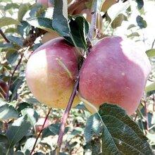 丑丑的外表下有颗甜甜的心——云南花果涧高原红丑苹果图片
