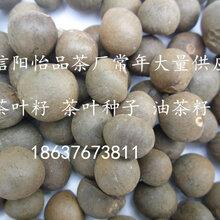 茶籽茶葉籽茶葉種子茶樹種子茶葉廠家常年供應圖片