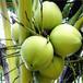 海南水果椰子批發青椰子去皮椰子熊爸爸果蔬