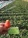 适合云南草莓苗栽培的品种红颜章姬甜查理脱毒适合云南地区栽培