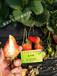 适合四川栽培的草莓苗品种咖啡草莓苗适合四川气温栽培的脱毒草莓苗I