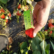 基地常年培育妙香草莓苗脱毒草莓苗适合四川气温栽培的妙香草莓苗品种图片