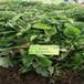 基地常年培育甜查理草莓苗脱毒二代苗贵州气温适合栽培的品种
